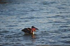 Uccello acquatico del pellicano fotografie stock libere da diritti