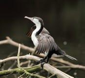 Uccello acquatico acquatico del tessuto felpato della Nuova Zelanda che si siede sui rami fotografia stock libera da diritti