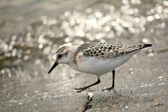 Uccello acquatico di alpina del Calidris del Dunlin immagini stock