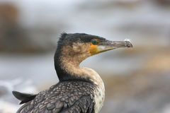 Uccello acquatico Emilia Romagna Italy di Cormorant fotografie stock libere da diritti