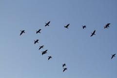 Uccello acquatico Emilia Romagna Italy di Cormorant immagini stock