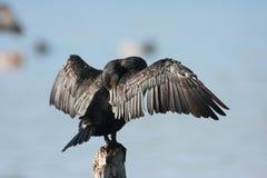 Uccello acquatico Emilia Romagna Italy di Cormorant immagine stock