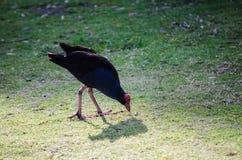 Uccello acquatico euroasiatico nero della folaga che cammina e che mangia sull'erba verde al parco centennale, Sydney, Australia fotografia stock