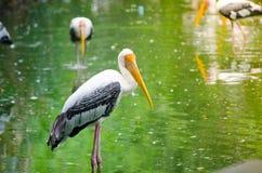 Uccello acquatico giallo della cicogna di marabù che sta all'le zone umide in Tailandia immagine stock