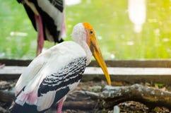 Uccello acquatico giallo della cicogna di marabù che sta all'le zone umide in Tailandia fotografia stock libera da diritti