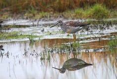 Uccello acquatico macchiato immagine stock