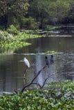 Uccello acquatico nel santuario di Thabbowa, Puttalam, Sri Lanka Fotografia Stock Libera da Diritti