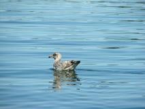 Uccello acquatico nell'Oceano Atlantico Fotografie Stock Libere da Diritti