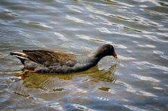 Uccello acquatico nero della folaga che nuota da solo nello stagno a Sydney Park fotografia stock