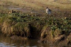 Uccello acquatico, pittima, Norfolk Regno Unito immagine stock libera da diritti
