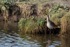 Uccello acquatico, pittima, Norfolk Regno Unito immagini stock