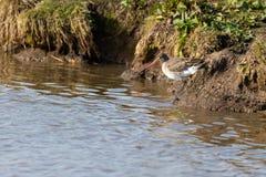 Uccello acquatico, pittima, Norfolk Regno Unito fotografia stock