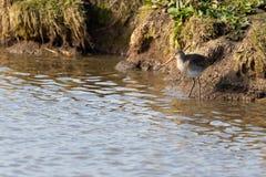 Uccello acquatico, pittima, Norfolk Regno Unito fotografia stock libera da diritti