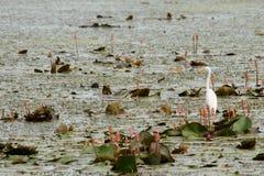 Uccello acquatico sulla foglia fotografia stock