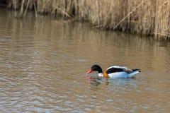 Uccello acquatico, volpoca, nuotante nell'habitat naturale, la Norfolk Regno Unito immagine stock