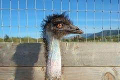 Uccello ad un'azienda agricola dello struzzo Fotografia Stock Libera da Diritti
