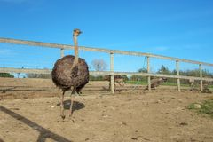 Uccello ad un'azienda agricola dello struzzo Fotografia Stock