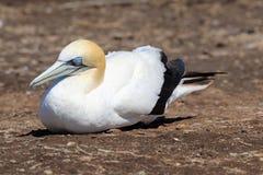 Uccello adulto di sula fotografie stock libere da diritti