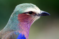 Uccello africano del rullo Fotografia Stock