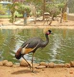Uccello africano: Gru incoronata grigia Fotografia Stock Libera da Diritti
