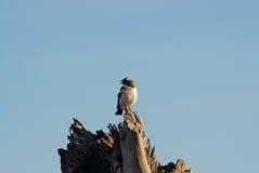 Uccello africano (Kenya) Immagini Stock