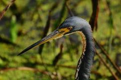 Uccello: Airone di Tricolored fotografia stock
