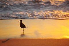 Uccello al mare di tramonto Fotografia Stock Libera da Diritti