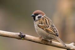 Uccello - albero sparrow3 Immagini Stock