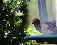 Uccello all'alimentatore dell'uccello fotografie stock