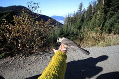 Uccello alla montagna di Cypress, Vancouver, Canada immagine stock