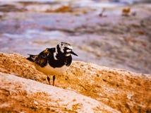 Uccello alla spiaggia Fotografie Stock Libere da Diritti