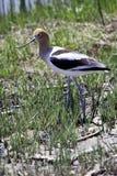 Uccello americano del Avocet Fotografia Stock Libera da Diritti