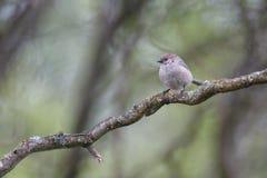Uccello americano del bushtit immagine stock libera da diritti
