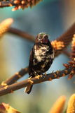 Uccello ametista del sole Fotografie Stock Libere da Diritti
