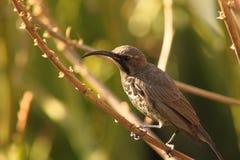 Uccello ametista del sole Immagine Stock Libera da Diritti