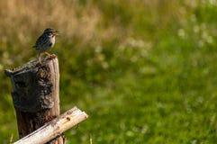 Uccello appollaiato su una posta di legno Fotografia Stock Libera da Diritti