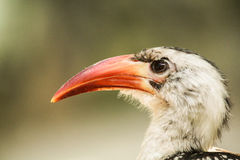 Uccello arancio del becco Immagini Stock Libere da Diritti