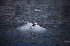 Uccello artico sveglio che riposa su un piccolo iceberg svalbard Fotografie Stock Libere da Diritti