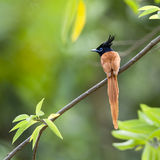 Uccello asiatico del pigliamosche di paradiso nello Sri Lanka Immagini Stock Libere da Diritti