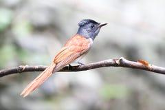 Uccello asiatico del pigliamosche di paradiso sul ramo Fotografie Stock Libere da Diritti