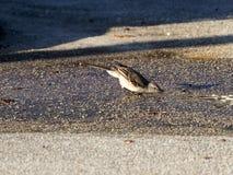 Uccello assetato Fotografia Stock