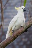 Uccello australiano Fotografie Stock