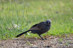 Uccello australiano dell'apostolo Immagini Stock Libere da Diritti