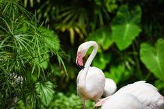 Uccello bello agli animali tropicali della natura del fiume del lago - fenicottero del fenicottero immagine stock