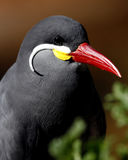 Uccello bello con il becco rosso fotografia stock libera da diritti