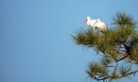 Uccello bianco americano di albus di Eudocimus dell'ibis Fotografia Stock Libera da Diritti
