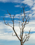 Uccello bianco appollaiato su un albero morto. Fotografie Stock