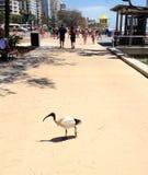 Uccello bianco australiano dell'ibis che cammina sulla sabbia Fotografia Stock