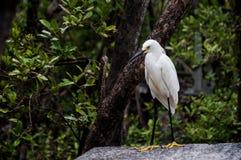 Uccello bianco con i piedini neri Immagine Stock Libera da Diritti