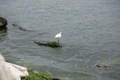 Uccello bianco con un becco nero snello Fotografie Stock